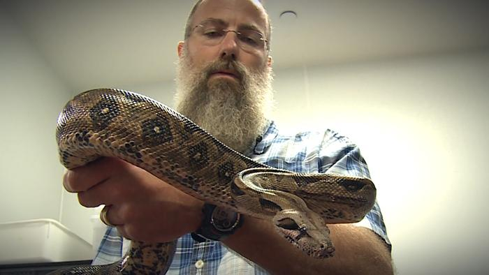 Dickinson researchers debunk long-held belief about the way boa constrictors kill. Their findings are published in the Journal of Experimental Biology.