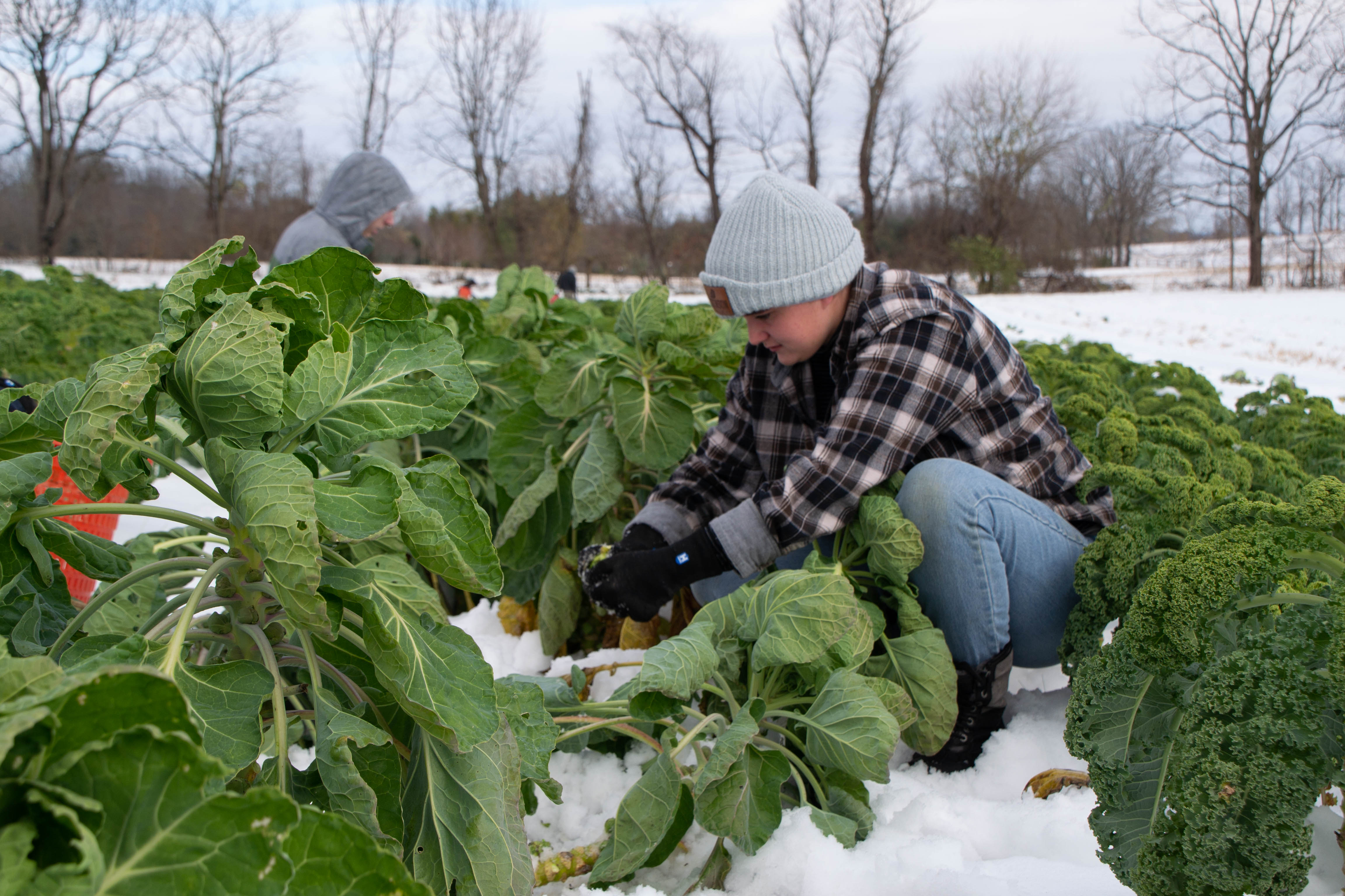 Student picking Brussels sprouts