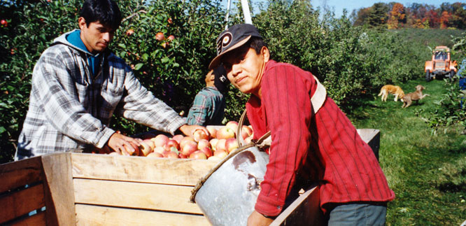 Mexican migrant workers working in an apple orchard.